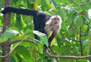 CR monkey