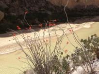 canyon ocotillo bloom