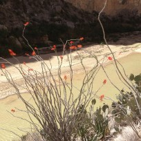 canyon ocotillo bloom