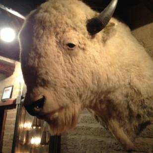 white buffalo2