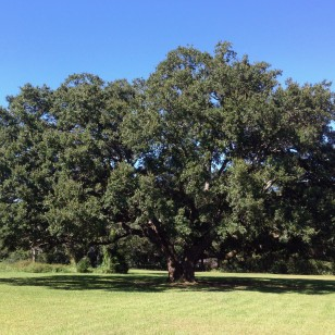 I-10 RV Park - HUGE Live Oak